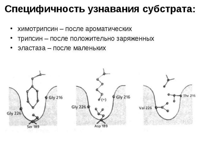 Специфичность узнавания субстрата: химотрипсин – после ароматических трипсин – после положительно заряженных эластаза – после маленьких