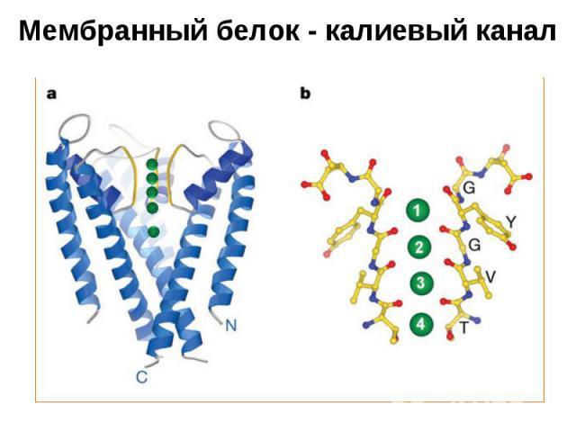 Мембранный белок - калиевый канал