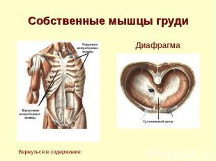 Собственные мышцы груди
