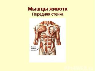 Мышцы живота Передняя стенка