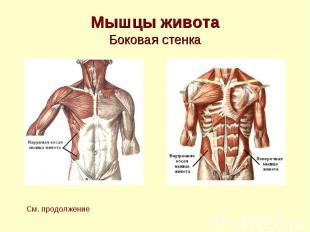 Мышцы живота Боковая стенка