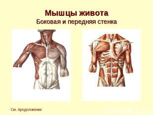 Мышцы живота Боковая и передняя стенка