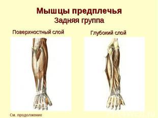 Мышцы предплечья Задняя группа Поверхностный слой