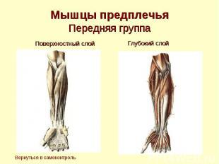 Мышцы предплечья Передняя группа Поверхностный слой