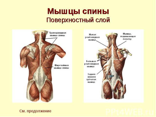 Мышцы спины Поверхностный слой