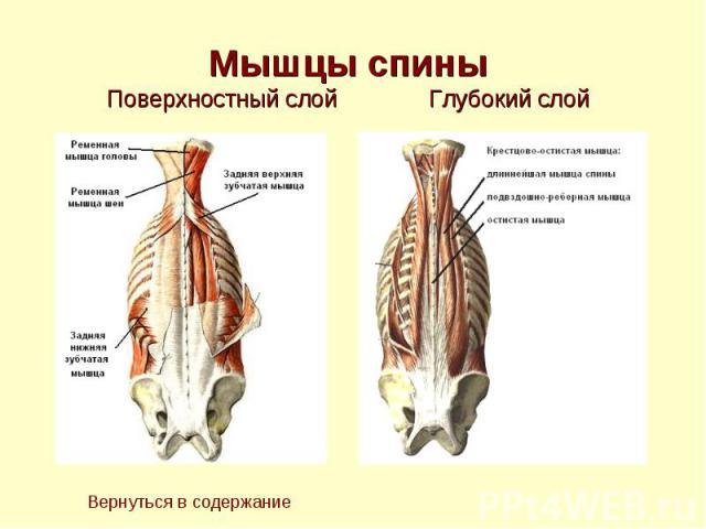 Мышцы спины Поверхностный слой Глубокий слой