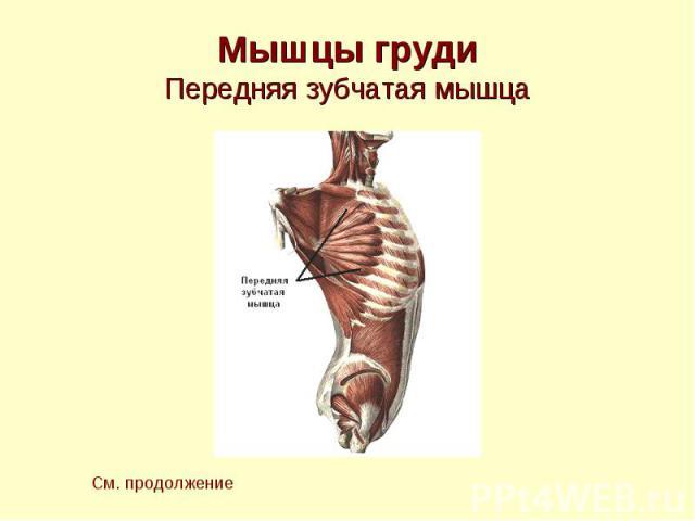 Мышцы груди Передняя зубчатая мышца