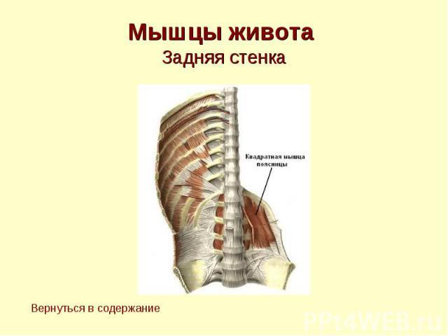 Мышцы живота Задняя стенка