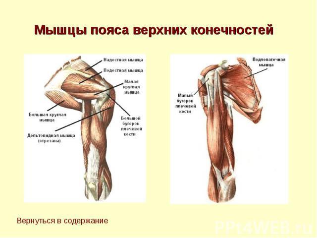 Мышцы пояса верхних конечностей