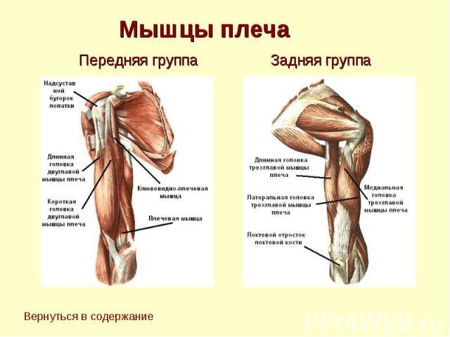 Мышцы плеча Передняя группа Задняя группа