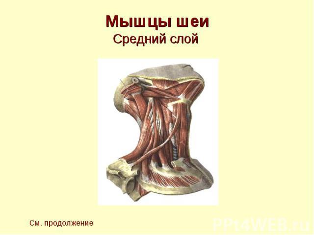 Мышцы шеи Средний слой