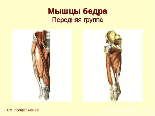 Мышцы бедра Передняя группа