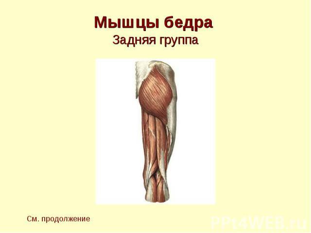 Мышцы бедра Задняя группа