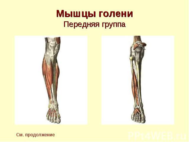 Мышцы голени Передняя группа