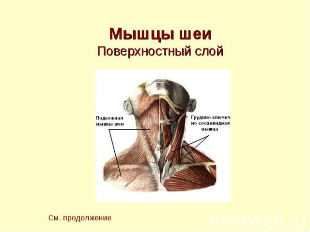 Мышцы шеи Поверхностный слой