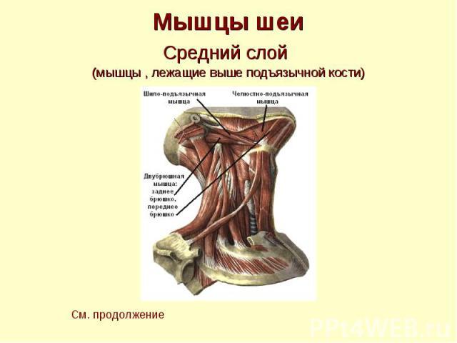 Мышцы шеи Средний слой (мышцы , лежащие выше подъязычной кости)