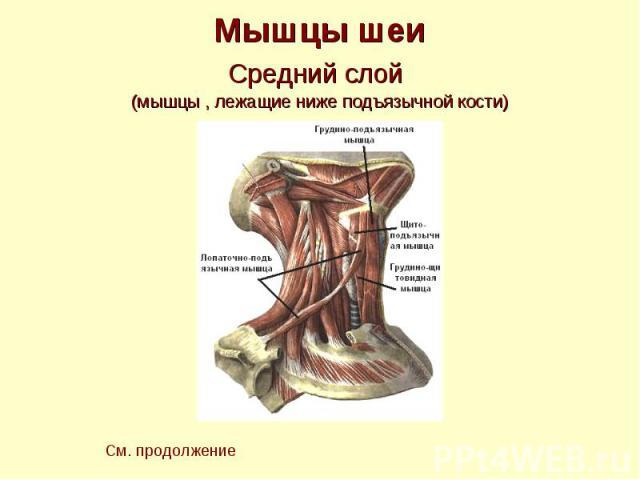 Мышцы шеи Средний слой (мышцы , лежащие ниже подъязычной кости)