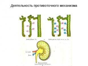 Деятельность противоточного механизма