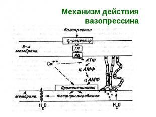 Механизм действия вазопрессина