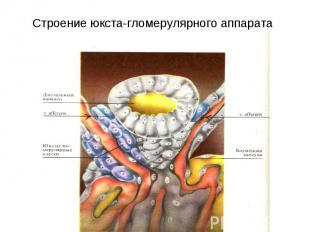 Строение юкста-гломерулярного аппарата