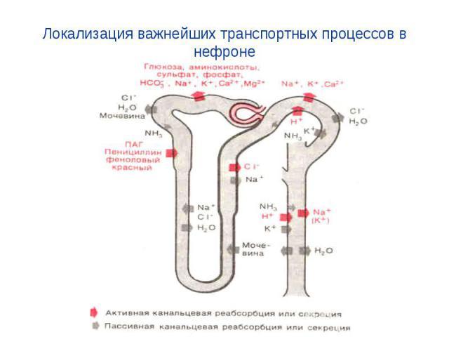 Локализация важнейших транспортных процессов в нефроне