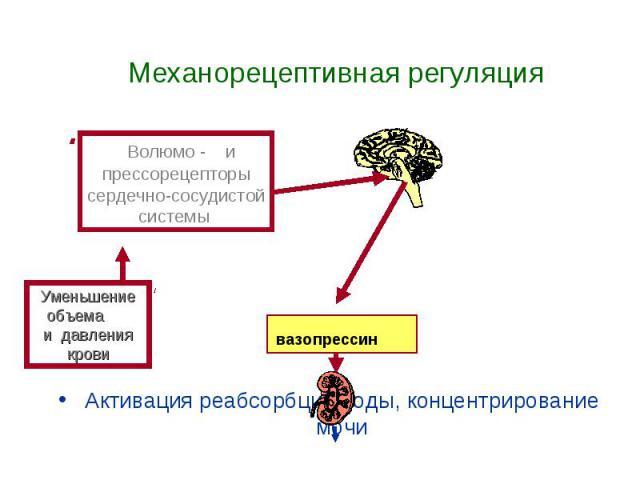 Механорецептивная регуляция