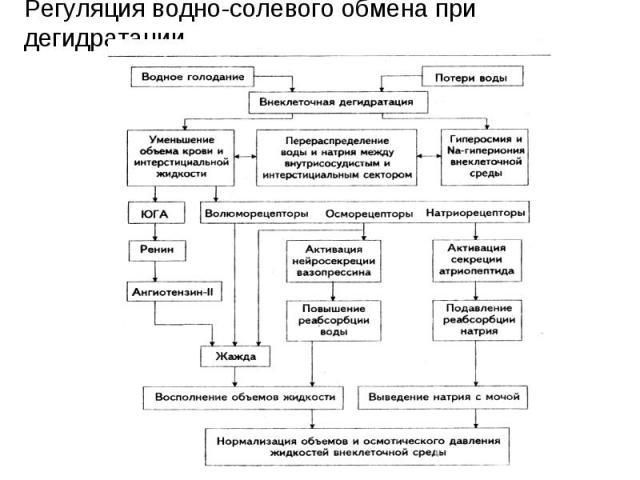 Регуляция водно-солевого обмена при дегидратации