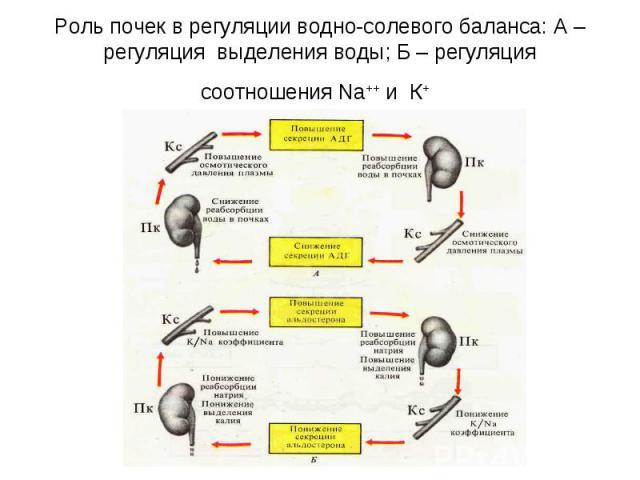 Роль почек в регуляции водно-солевого баланса: А – регуляция выделения воды; Б – регуляция соотношения Na++ и К+