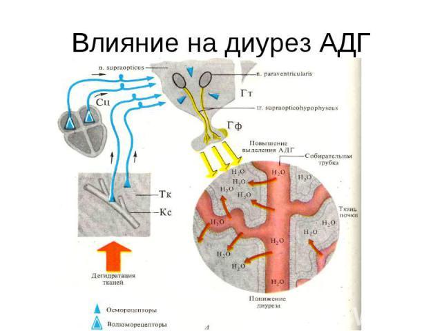 Влияние на диурез АДГ
