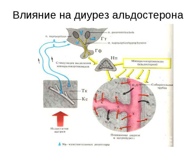 Влияние на диурез альдостерона
