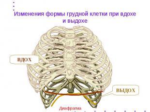 Изменения формы грудной клетки при вдохе и выдохе