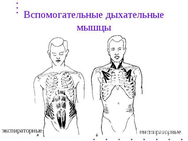 Вспомогательные дыхательные мышцы