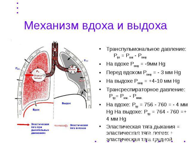 Механизм вдоха и выдоха Транспульмональное давление: Ртрп = Ральв - Рплевр На вдохе Рплевр = -9мм Hg Перед вдохом Рплевр = - 3 мм Hg На выдохе Рплевр = +4-10 мм Hg Трансреспираторное давление: Ртрр= Ральв. - Рвнешн. На вдохе: Ртрр = 756 - 760 = - 4 …