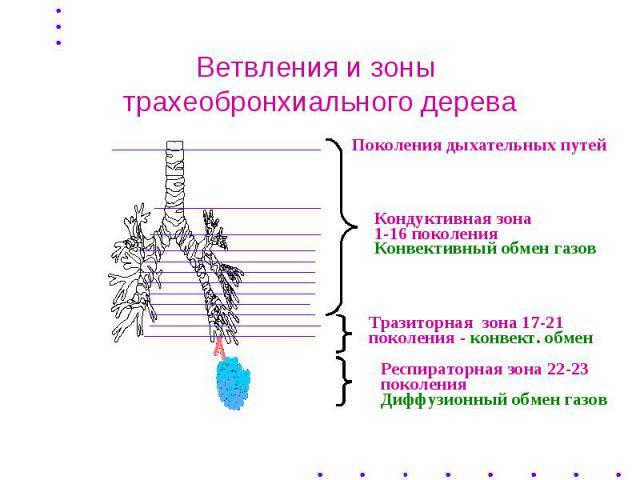 Ветвления и зоны трахеобронхиального дерева