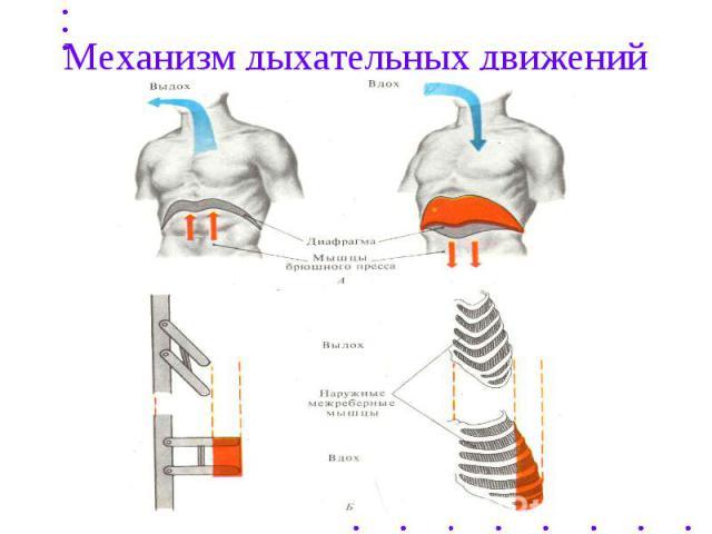 Механизм дыхательных движений