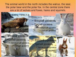 The animal world in the north includes the walrus, the seal, the polar bear and