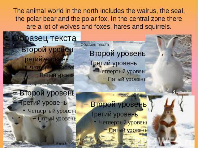 The animal world in the north includes the walrus, the seal, the polar bear and the polar fox. In the central zone there are a lot of wolves and foxes, hares and squirrels.