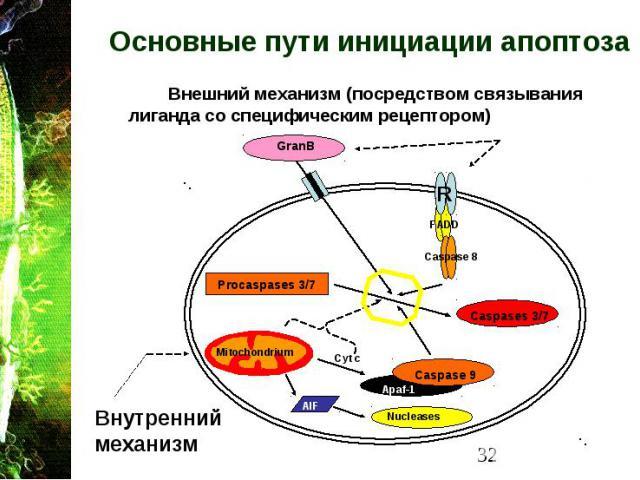 Основные пути инициации апоптоза Внешний механизм (посредством связывания лиганда со специфическим рецептором)