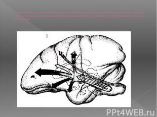 Изображение мозга обезьяны (вид сбоку), иллюстрирующее восходящую ретикулярную ф