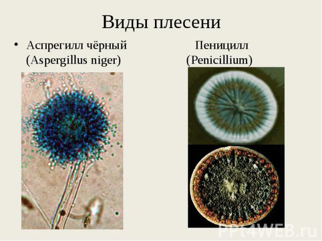 Аспрегилл чёрный Пеницилл (Aspergillus niger) (Penicillium) Аспрегилл чёрный Пеницилл (Aspergillus niger) (Penicillium)