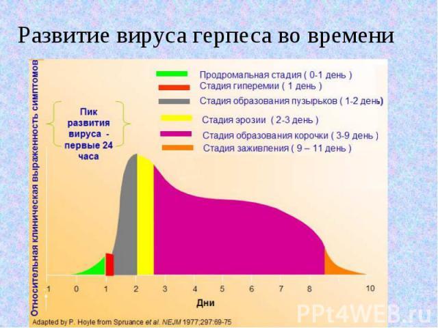 Развитие вируса герпеса во времени