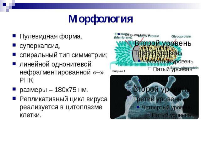 Морфология Пулевидная форма, суперкапсид, спиральный тип симметрии; линейной однонитевой нефрагментированной «–» РНК, размеры – 180х75 нм. Репликативный цикл вируса реализуется в цитоплазме клетки.