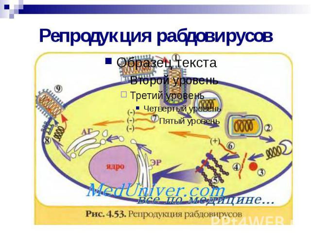 Репродукция рабдовирусов