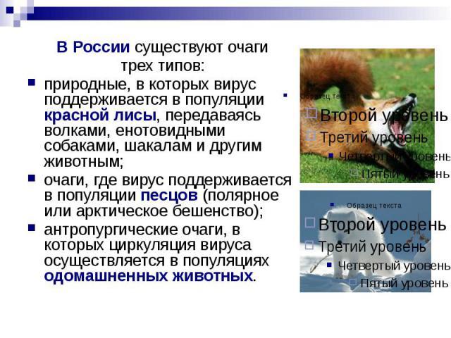 В России существуют очаги В России существуют очаги трех типов: природные, в которых вирус поддерживается в популяции красной лисы, передаваясь волками, енотовидными собаками, шакалам и другим животным; очаги, где вирус поддерживается в популяции пе…