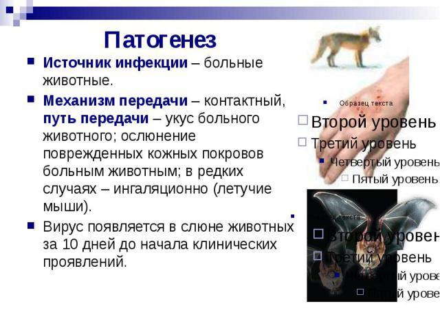 Патогенез Источник инфекции – больные животные. Механизм передачи – контактный, путь передачи – укус больного животного; ослюнение поврежденных кожных покровов больным животным; в редких случаях – ингаляционно (летучие мыши). Вирус появляется в слюн…