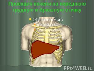Проекция печени на переднюю грудную и брюшную стенку
