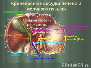 Кровеносные сосуды печени и желчного пузыря