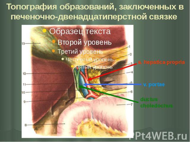 Топография образований, заключенных в печеночно-двенадцатиперстной связке