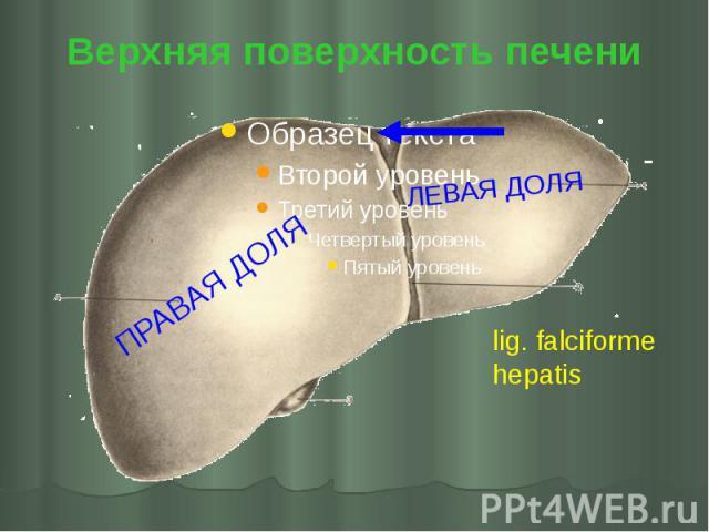 Верхняя поверхность печени