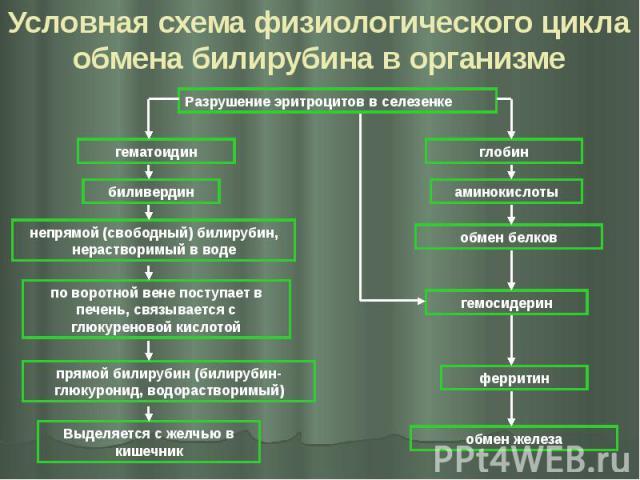 Условная схема физиологического цикла обмена билирубина в организме